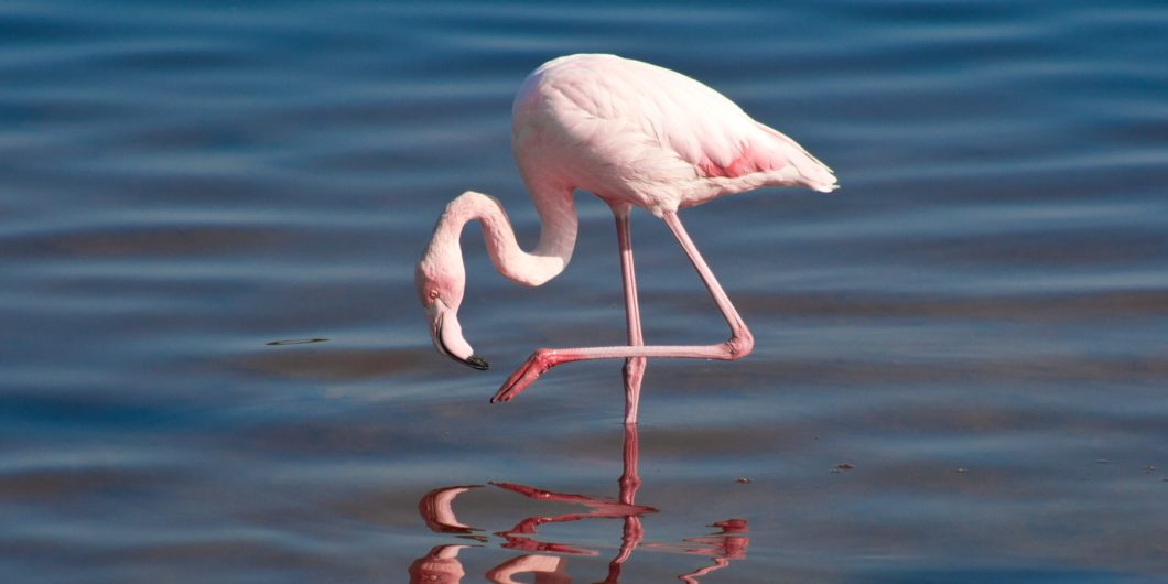 flamingo demonstrating one leg stand
